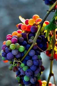 Wine Grape Bunch
